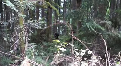 bigfoot coverage for 2013 and their top two bigfoot videos picks are