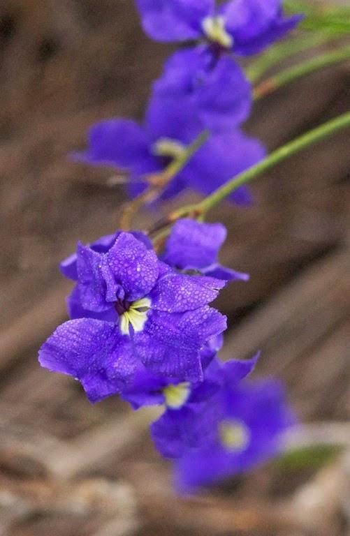Pouched Dampiera (Dampiera sacculata)