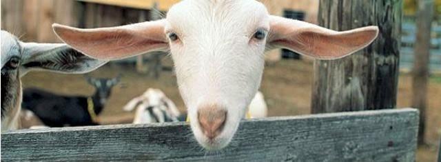 Vermont Creamery goat