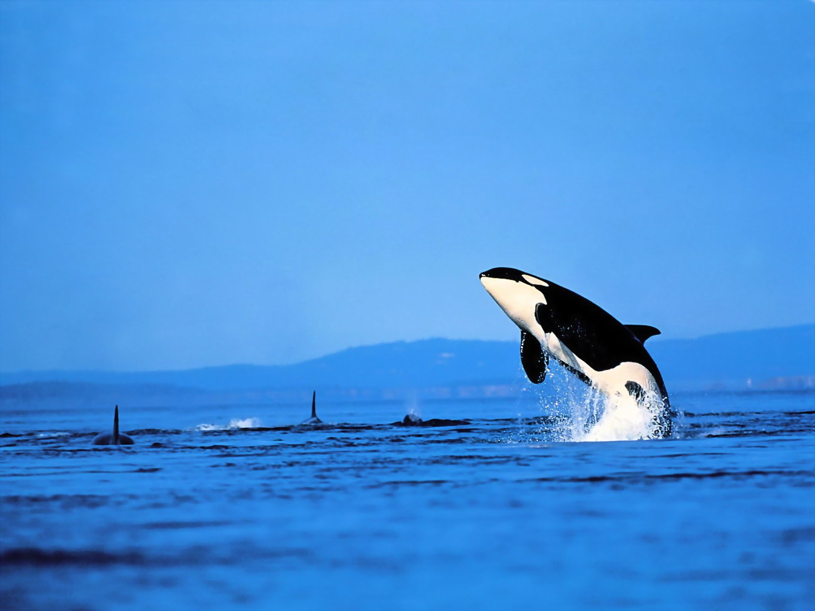Funny And Weird Animals Funny Orca Picture For Desktop