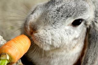 Consejos para alimentar un conejo
