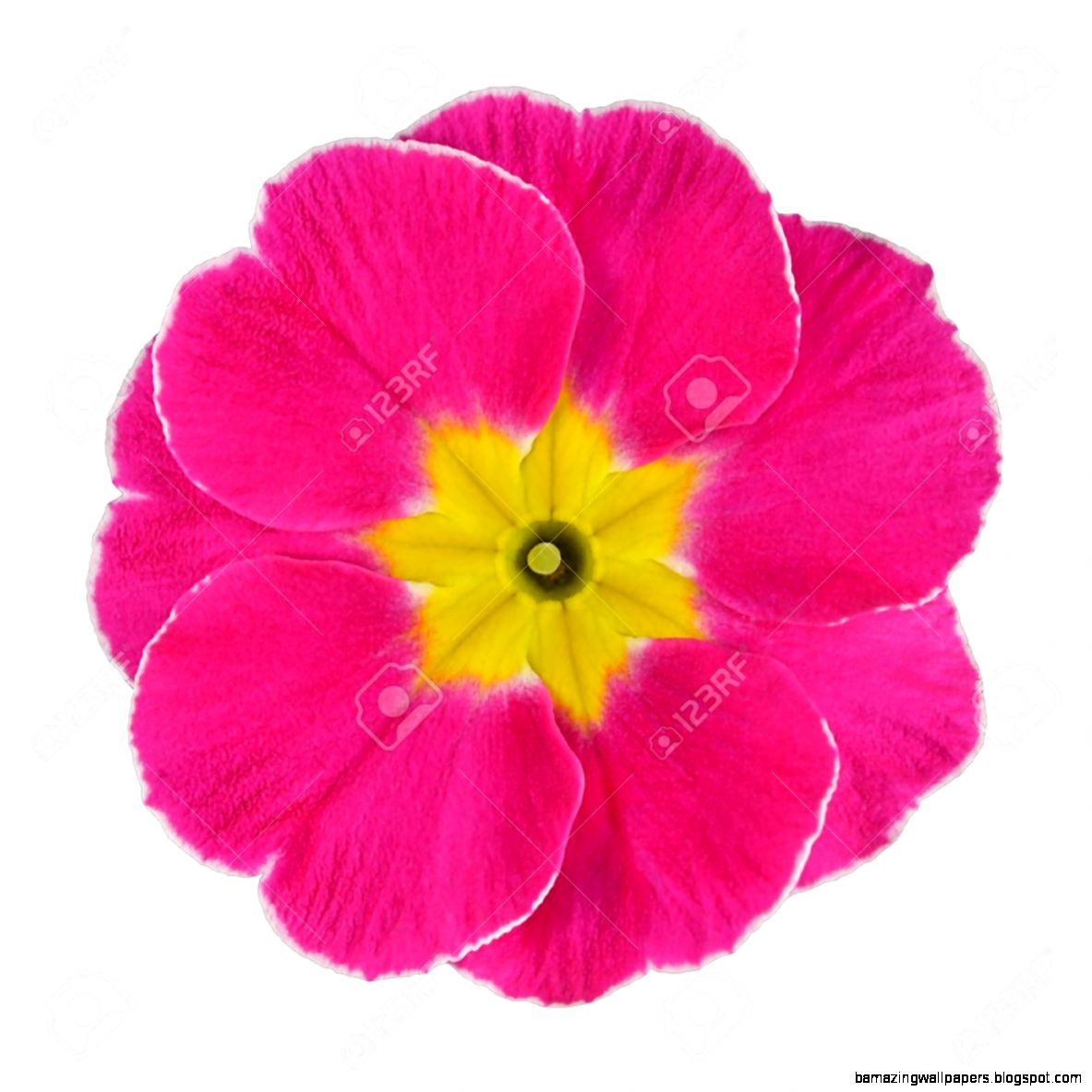 Single Pink Flowers Amazing Wallpapers