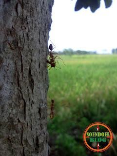 Foto Semut Mengangkat Temannya Yang Mati
