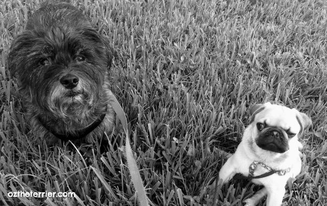 Oz the Terrier with Louie the Pug in black & white photography
