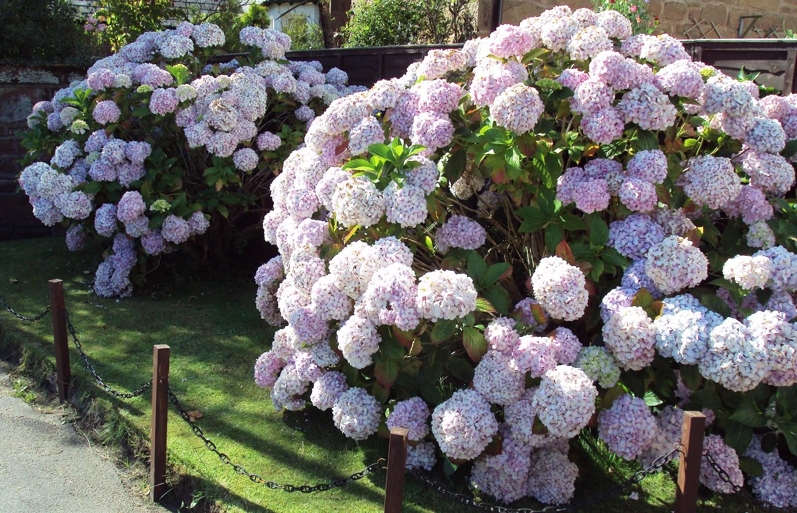 Hydrangea popular ornamental plants kinds of ornamental plants - Caring hydrangea garden ...