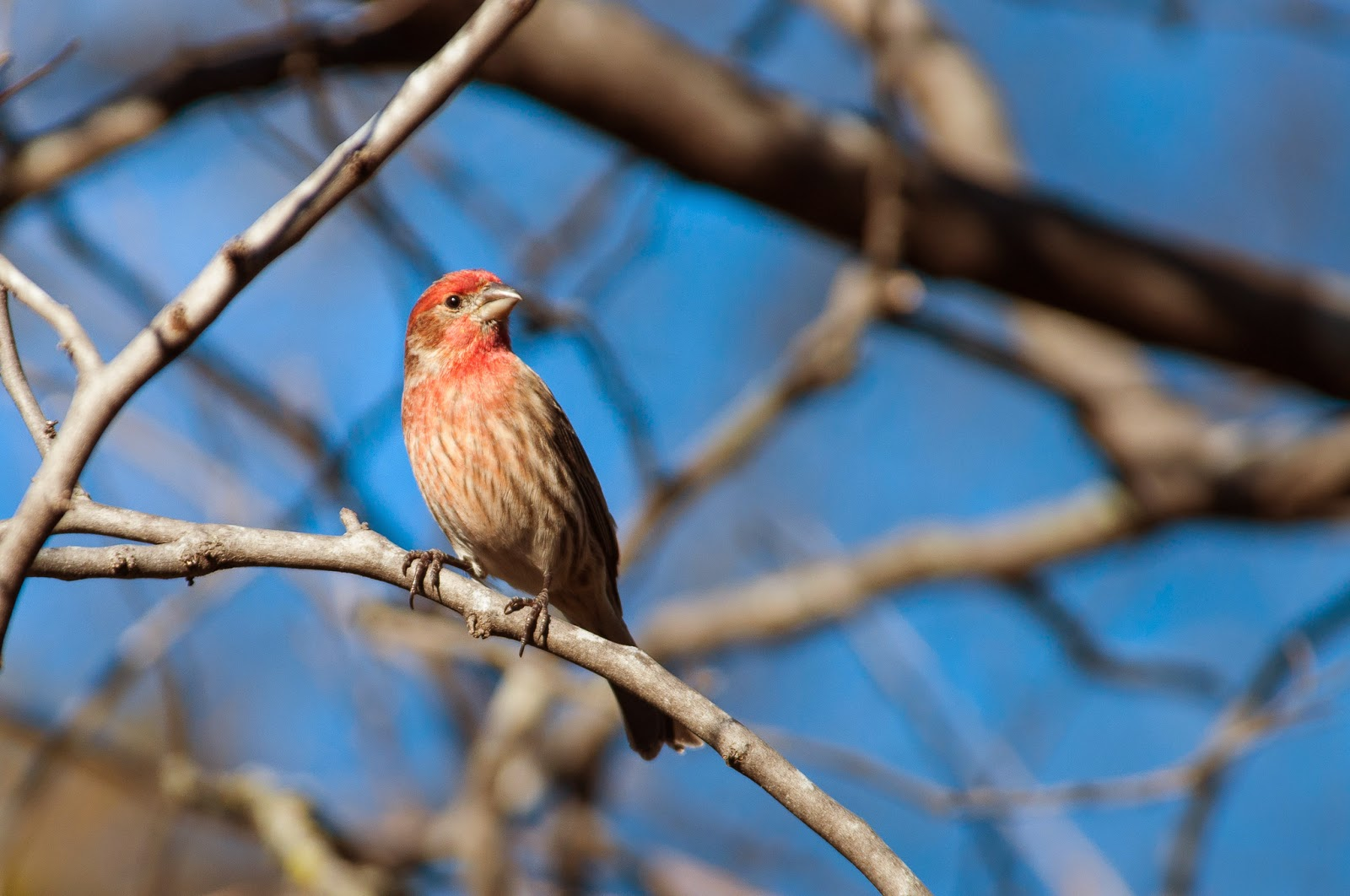 House Finch, The Heard