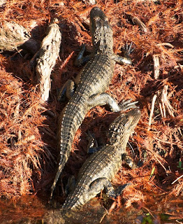 American Alligator (Alligator mississippiensis)