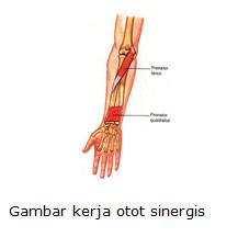 Otot Sinergis