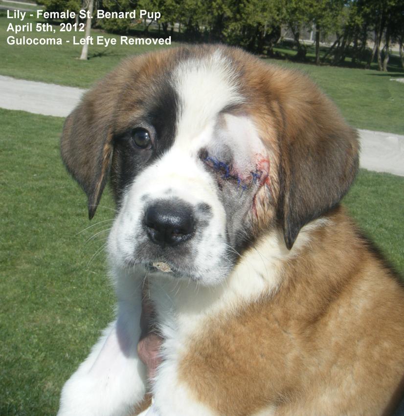 Pics of Week Old Saint Bernard Puppies Desktop Background