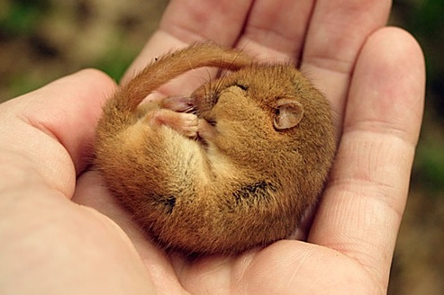Dormice and other Saturnalia Gifts & The History Girls: Dormice and other Saturnalia Gifts
