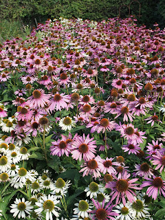Sussex Prairies Garden. Amazing flowers and good example of garden design. Beautiful Echinacea plants in a block