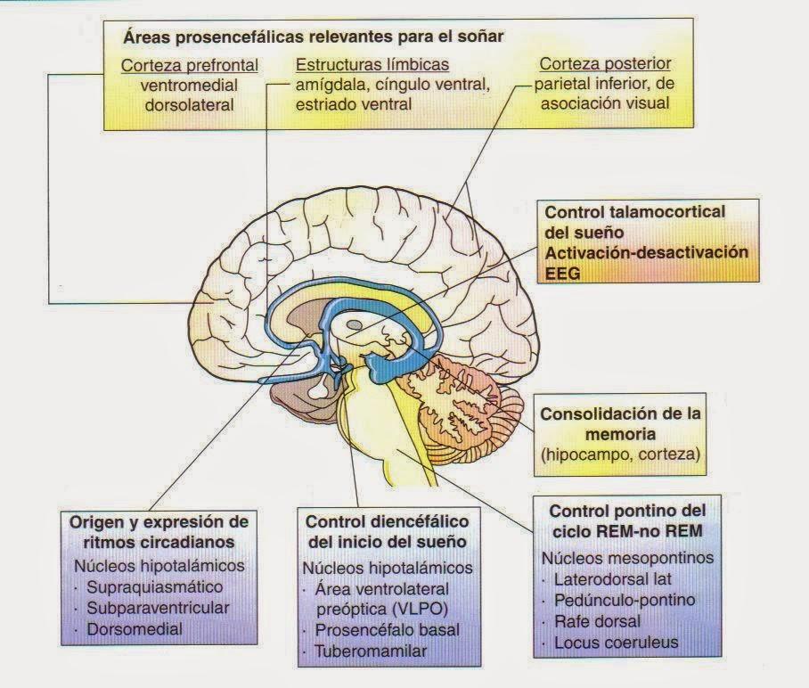 Nutrición, hormonas y sistema nervioso: Fisiologia del sueño ...