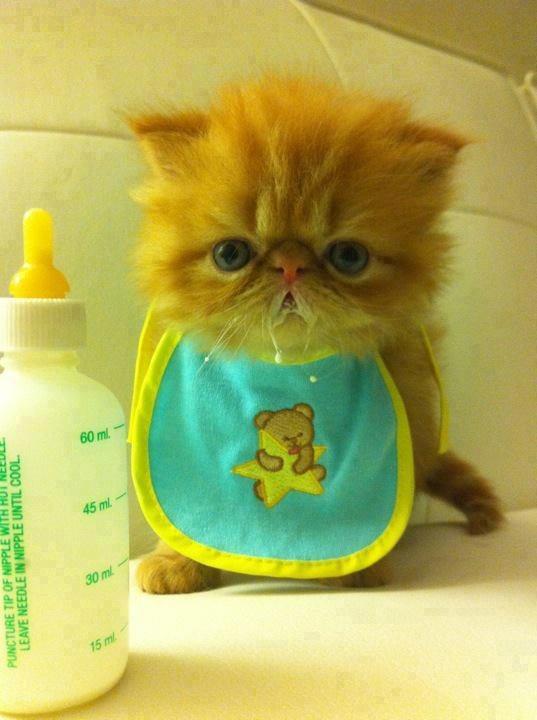 Cute brown kitten staring after finishing milk image