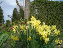 May daffodils