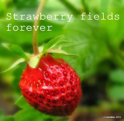 Pallkrage, jordgubbar