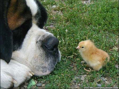 Dog And Chick Funny Wallpaper