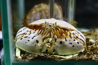 Red-streaked box crab