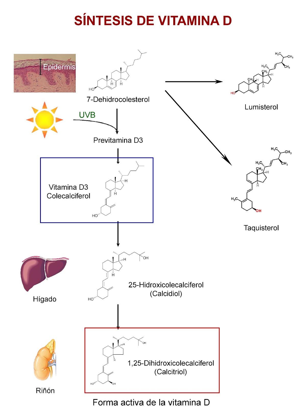 Papel de la piel, el hígado y los riñones en la síntesis de vitamina D