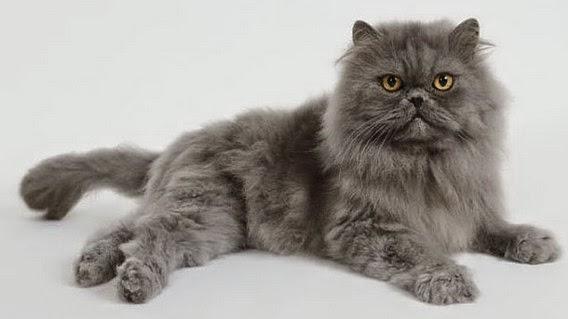 Jenis-jenis Kucing Lucu dan Mahal Di dunia Terbaru 2015