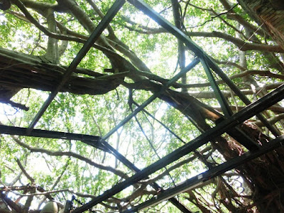 The banyan tree branches on the roof Anping Tree House