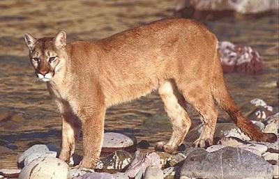 Foto Puma atau Panther