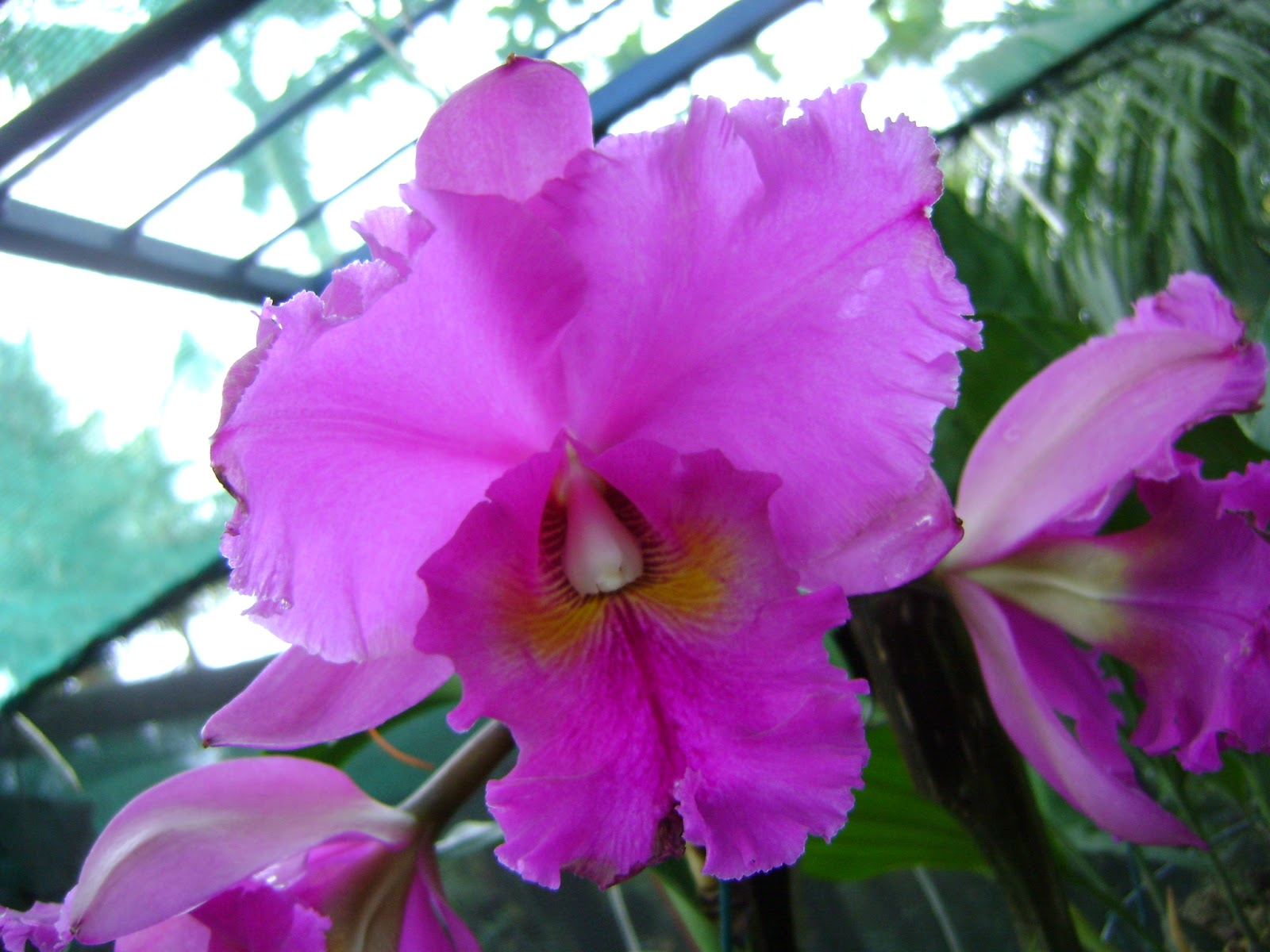 Cattleya orchid in flower the orchid angel for Orchidea cattleya