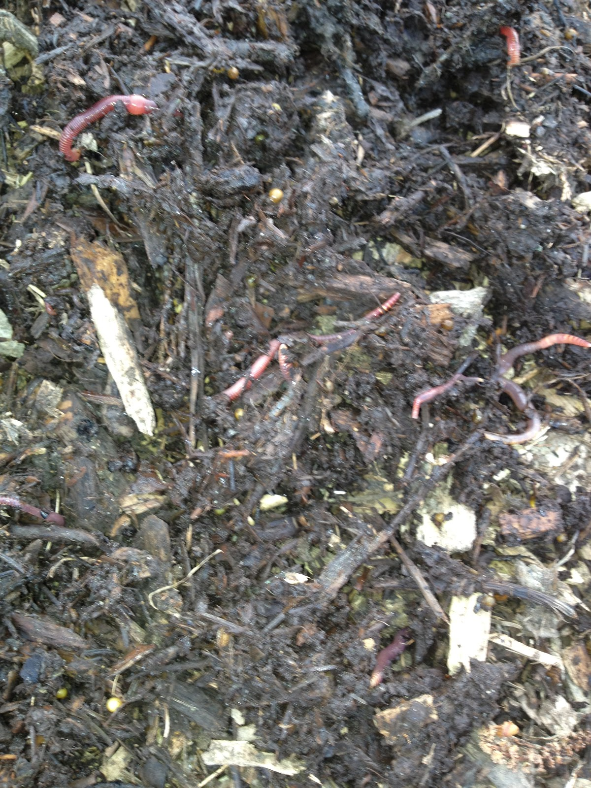 Meat worms for Soil king compost
