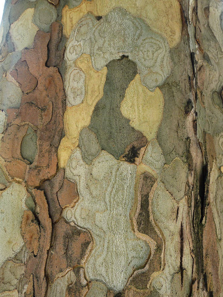 mon arbre le de vivre le douaire tout savoir sur le platane platanus x acerifolia. Black Bedroom Furniture Sets. Home Design Ideas
