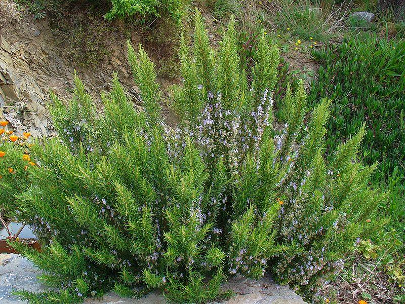 Plantas e flores alecrim for Yuca planta de exterior