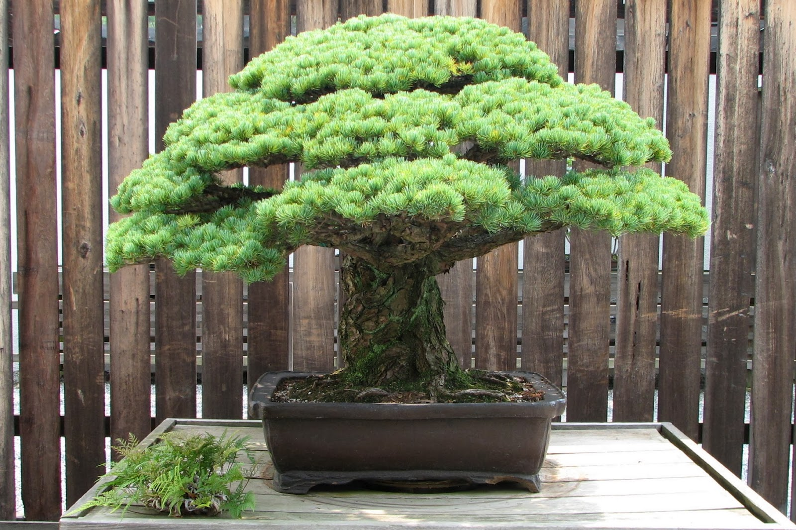 400 Year Old Japanese White Pine Bonsai That Survived The