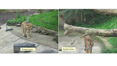 zoo-praga-leoaica-si-tigru