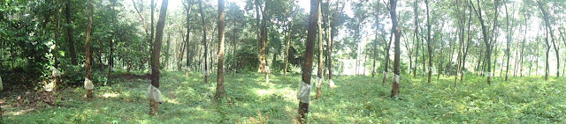 Rubber plantations, Velliamattom, Thodupuzha, Idukki, Kerala