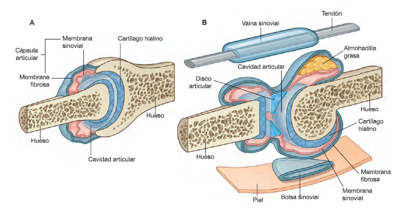 Tipos de articulaciones del cuerpo humano