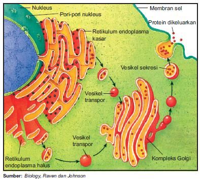 Protein disekresikan melalui membran