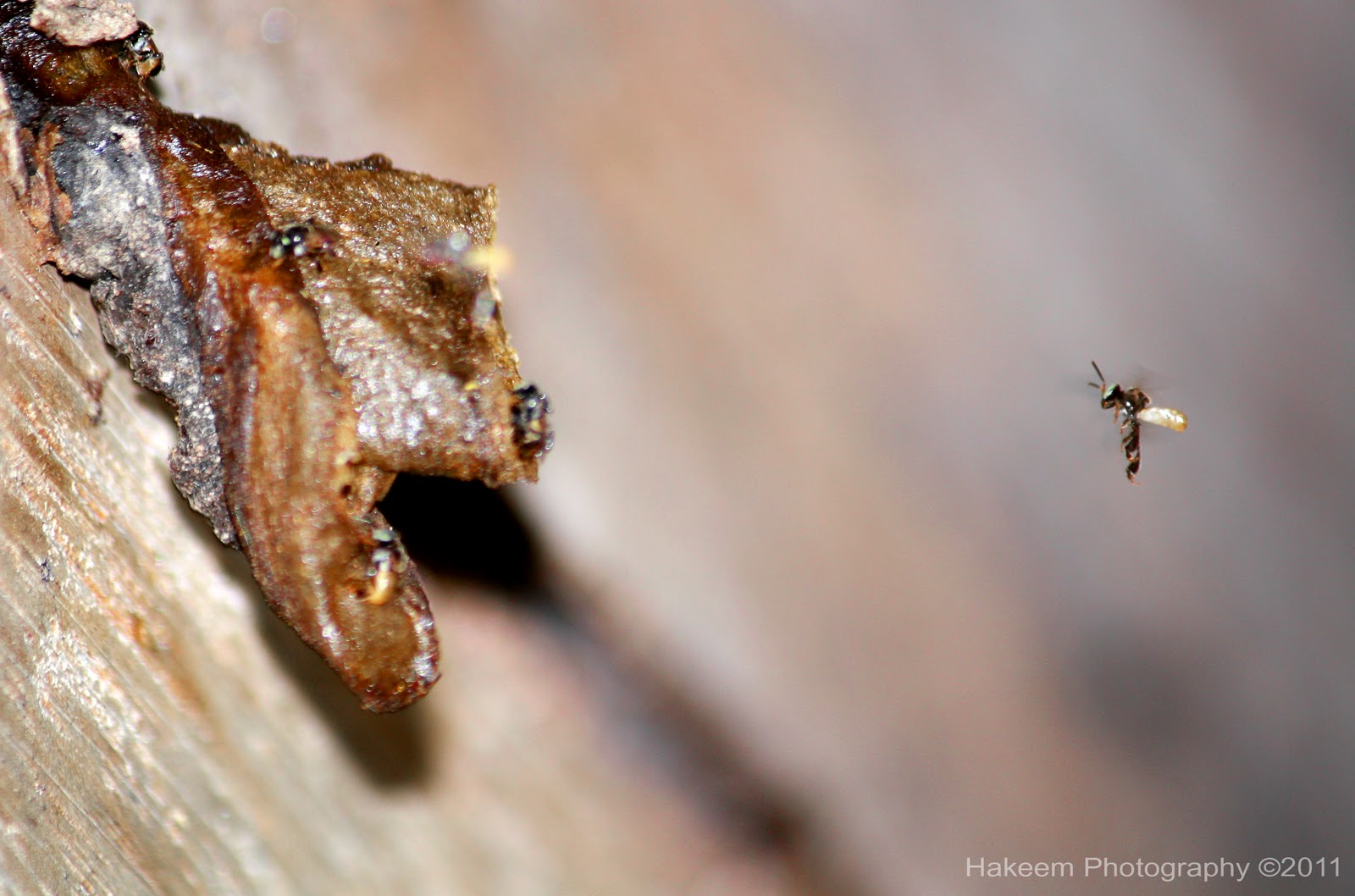 stingless bee (Meliponula ferruginea)