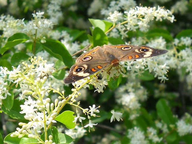 Common Buckeye (Junonia coenia) at White Rock Lake, Dallas, Texas