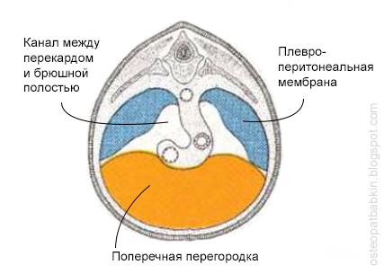 Диафрагма на пятой неделе внутриутробного развития ещё не объединена в единое целое. Между поперечной перегородкой и плевро-перитонеальными мембранами остается просвет.