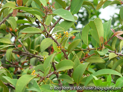 Common Chinese Mistletoe (Macrosolen cochincinensis)