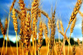 Buğday Faydaları