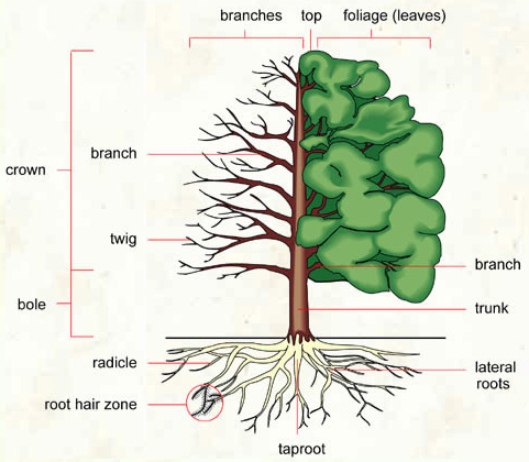 Structure of a tree : large ligneous plant whose stem is bare lose to ...