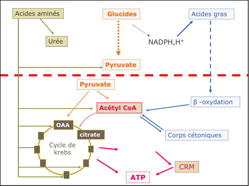 cours de la glycolyse svi s4