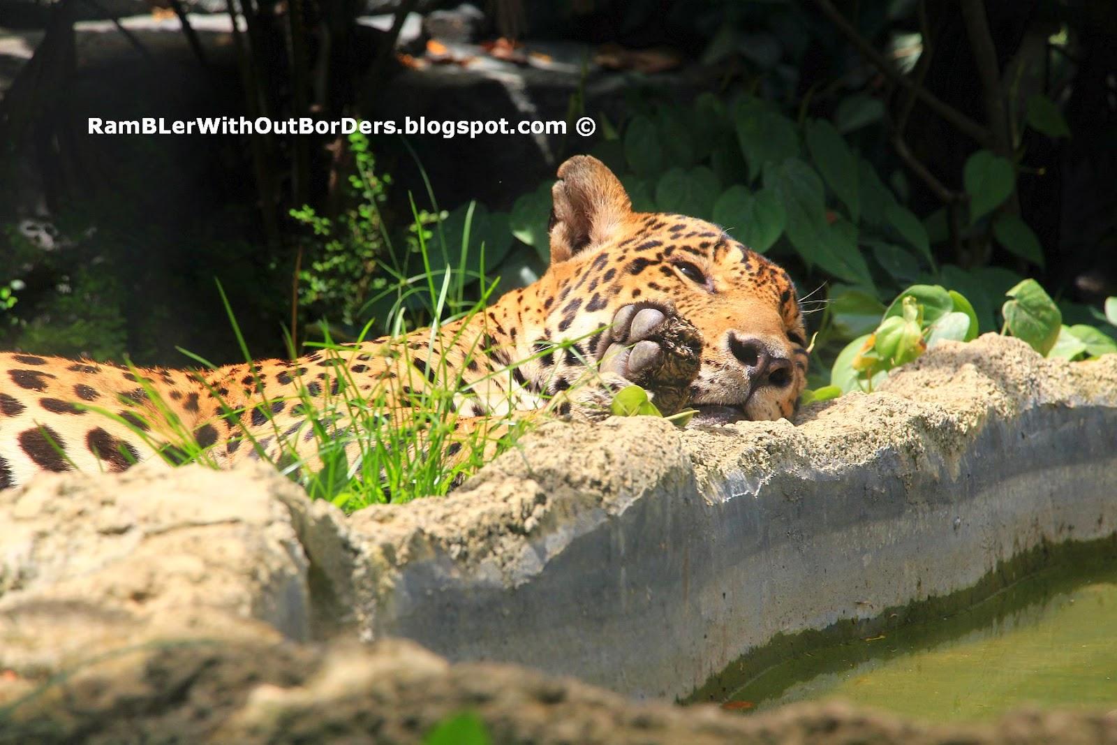 Leopard, River Safari, Singapore