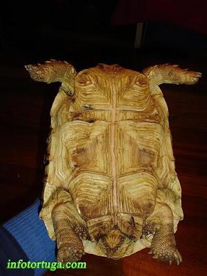 Plastrón de Stigmochelys pardalis - Tortuga leopardo