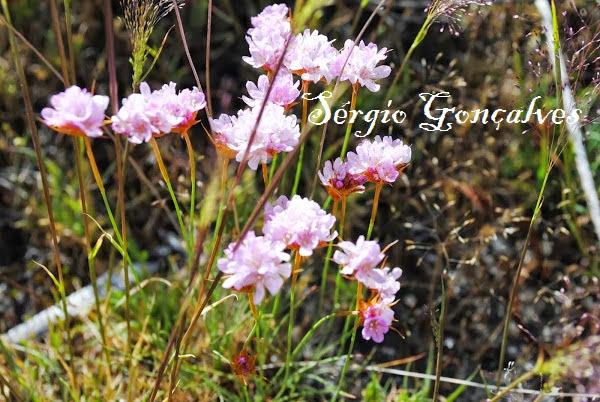 Arméria é um género botânico pertencente à família Plumbaginaceae.