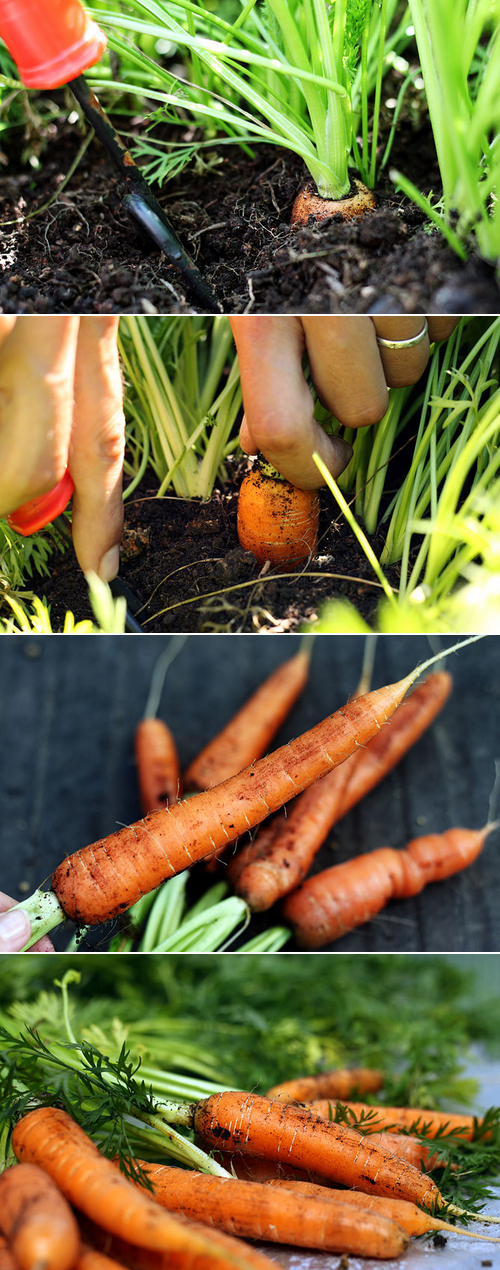 How To Harvest Carrots Vegetable Gardening 101 Gardening