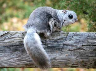 Foto Tupai Siberian Flying Squirrel (Pteromys volans)