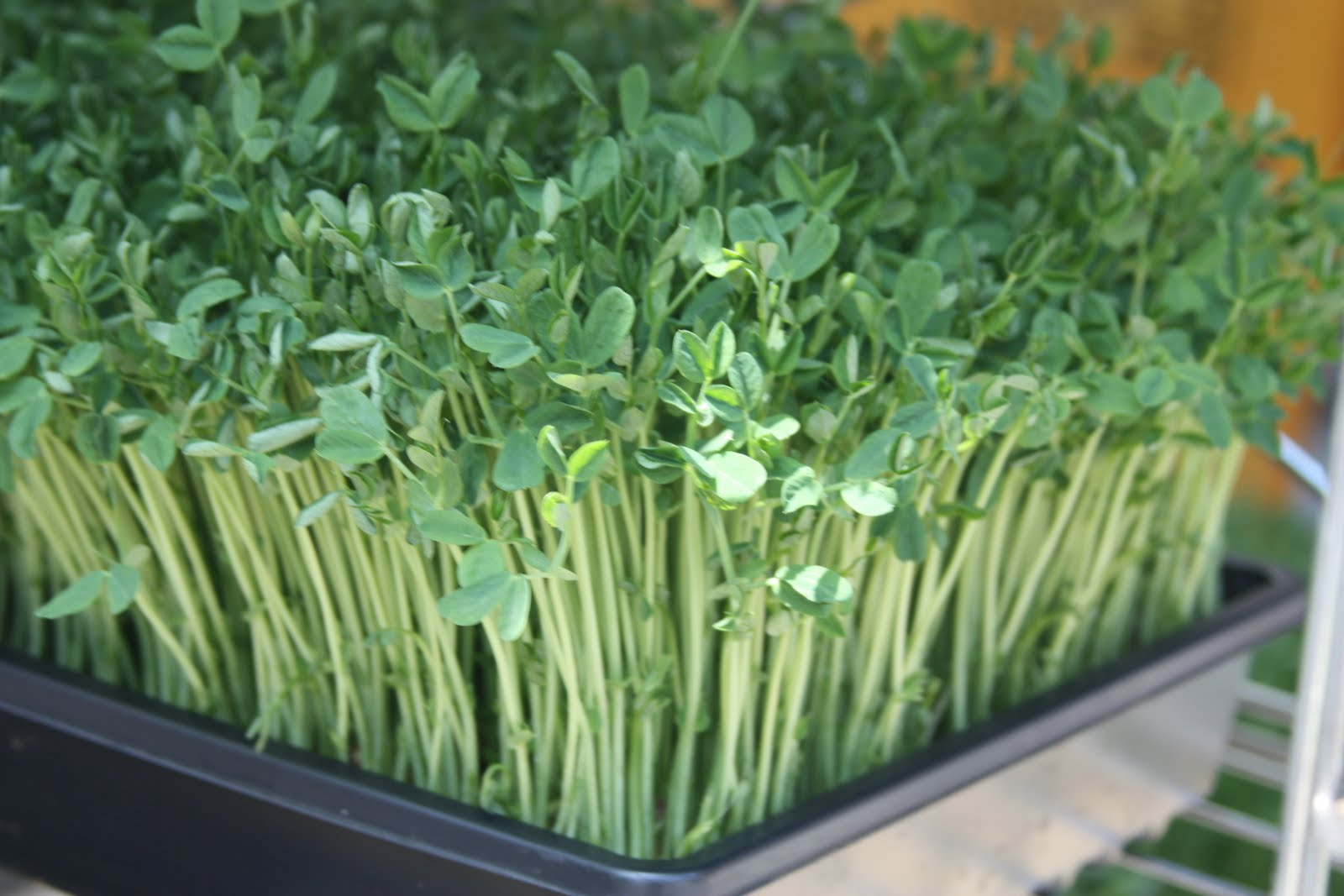 how to prepare pea shoots