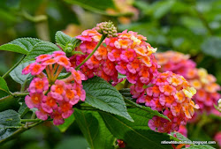 Prickly Lantana (Lantana camara) All year