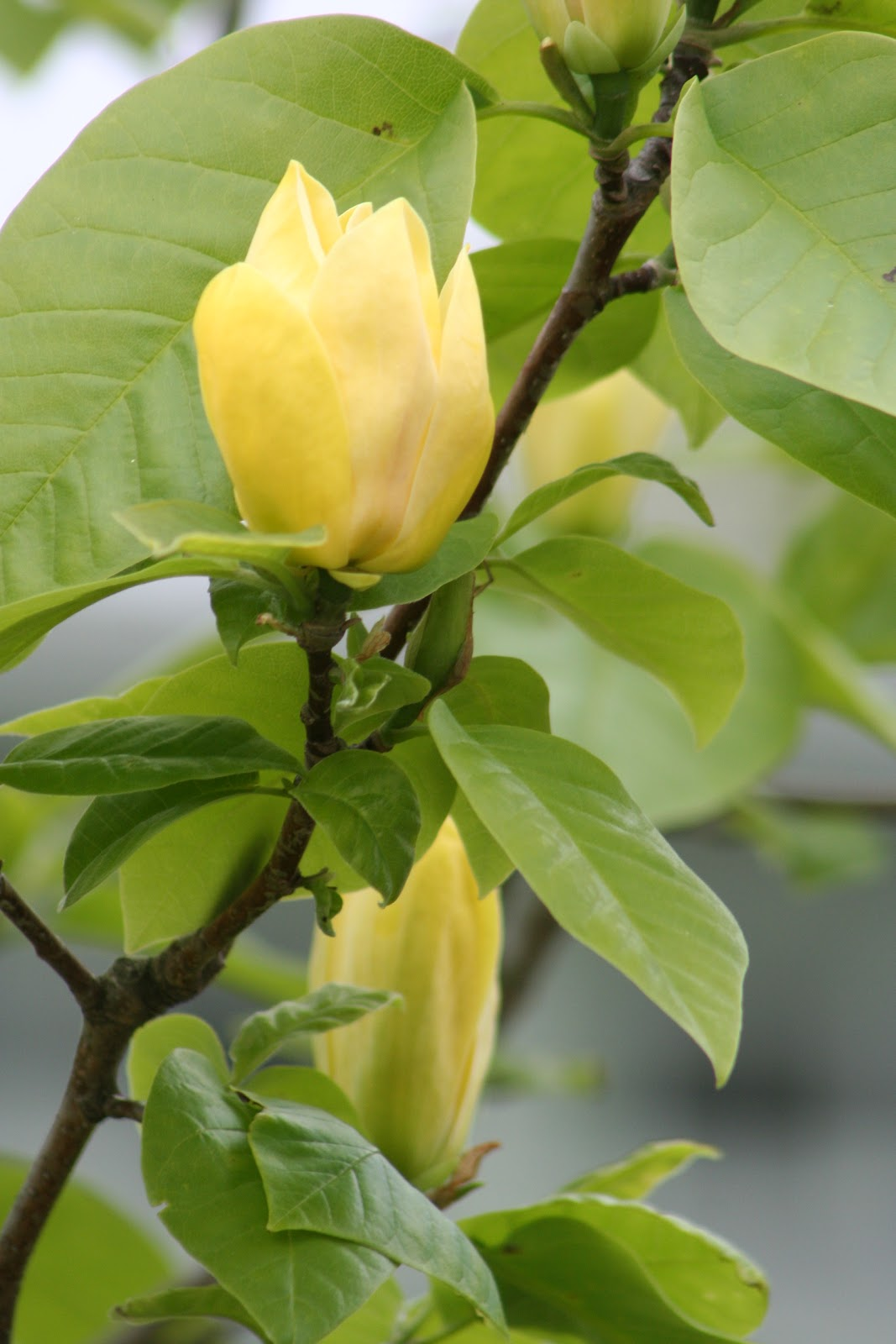 Our garden journal another magnificent magnolia yellow bird our second yellow magnolia yellow bird magnolia acuminata has been in bloom this week blooming nearly three weeks after our other yellow magnolia mightylinksfo