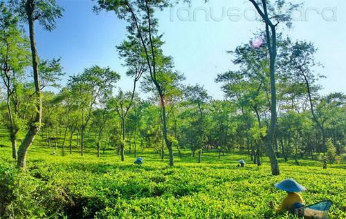 Kebun Teh Wonosari Malang 2